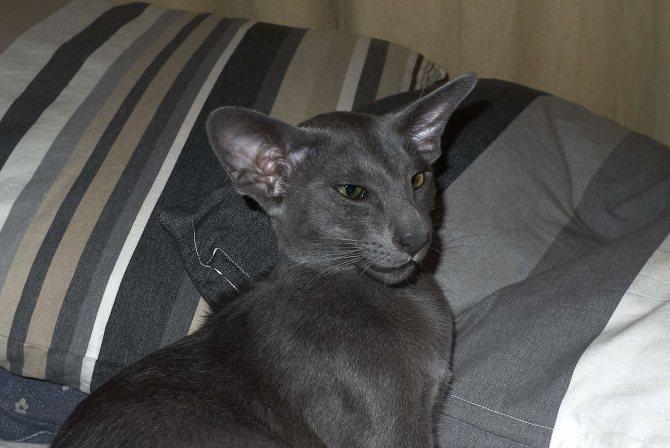 Ориентальная кошка: характеристики, фото, характер, правила ухода и содержания - petstory