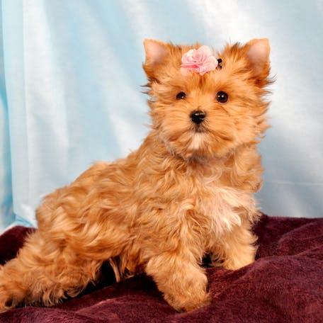Русская салонная собака (30 фото): описание породы, содержание русалок. продолжительность жизни собак. как выбирать щенков?