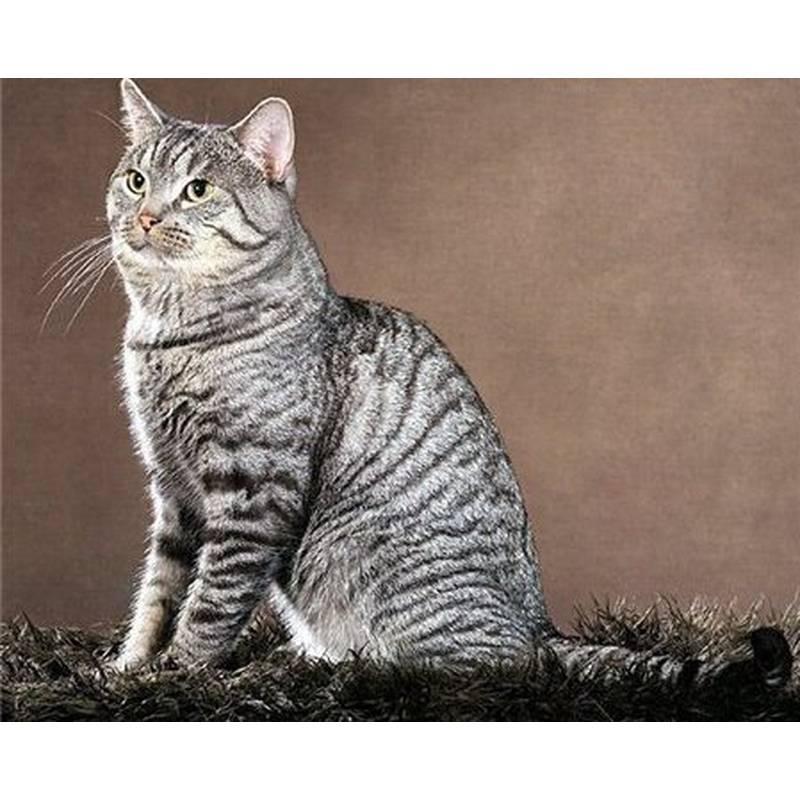 Азиатская табби (28 фото): описание породы кошек, характер котов. содержание котят