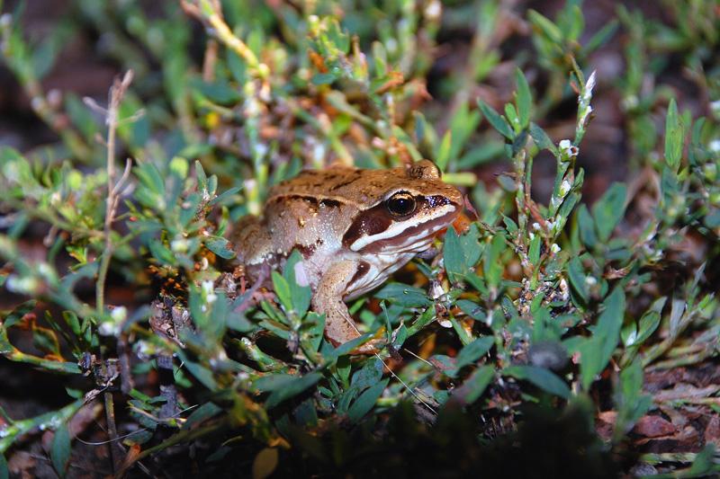 Остромордая лягушка - вики