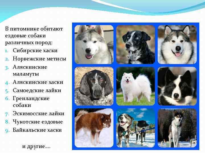Каникросс: как бегать с собакой