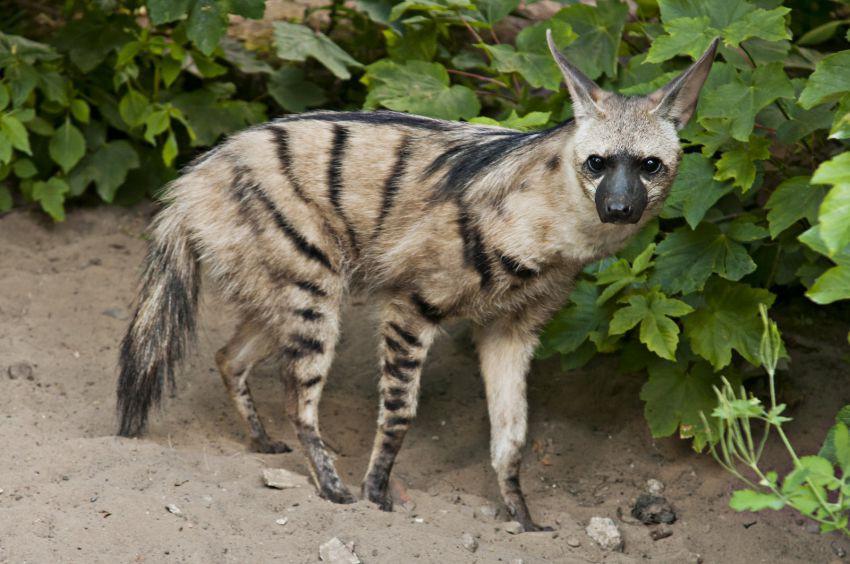 Волк земляной волк,proteles cristatus sparrman, 1783 = земляной волк, земляной волк