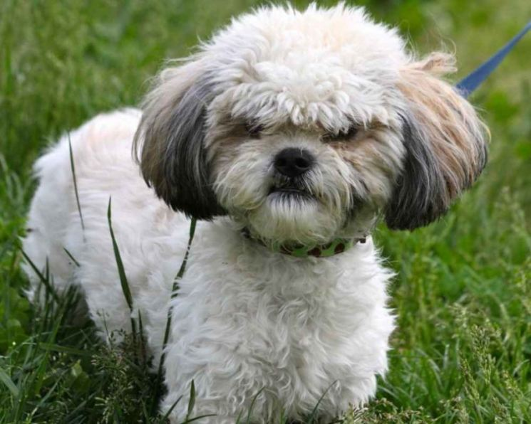 Ши тцу собака. описание, особенности, уход и цена ши тцу