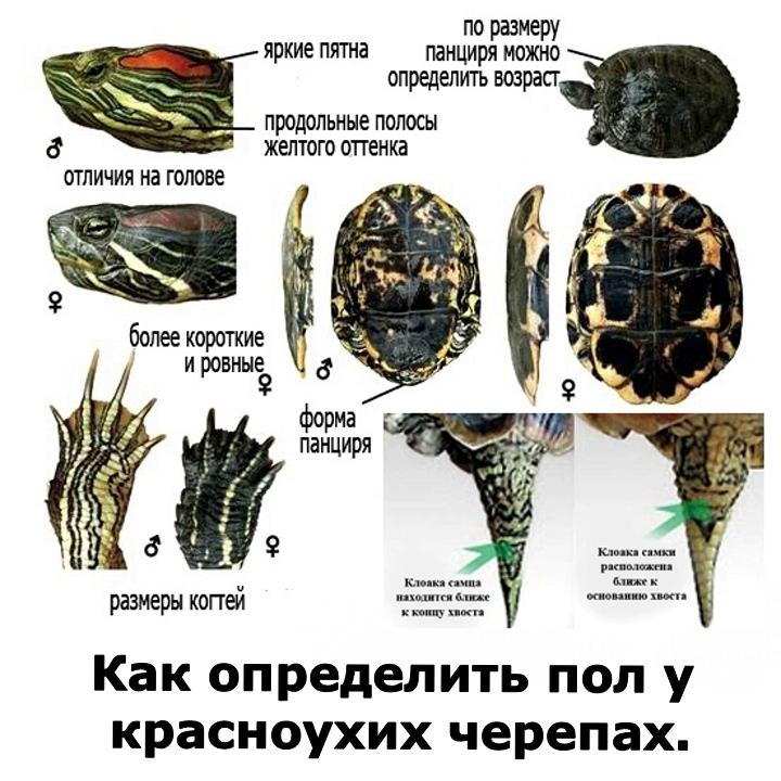 Как определить возраст красноухой черепахи, по панцирю