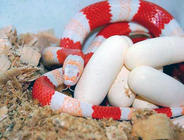Домашняя змея, идеальное домашнее животное (уход, питание)