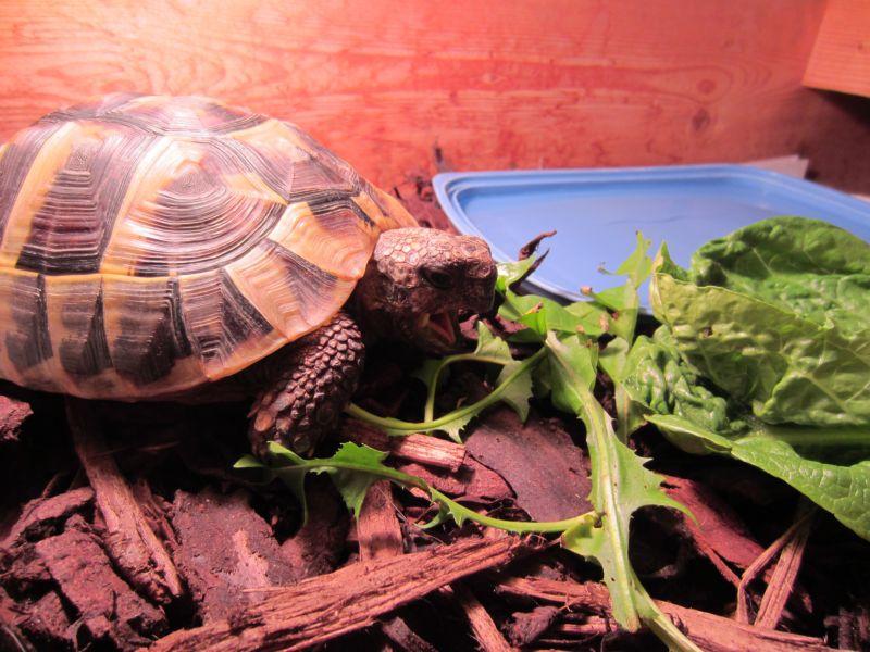 Чем кормить сухопутных черепах список