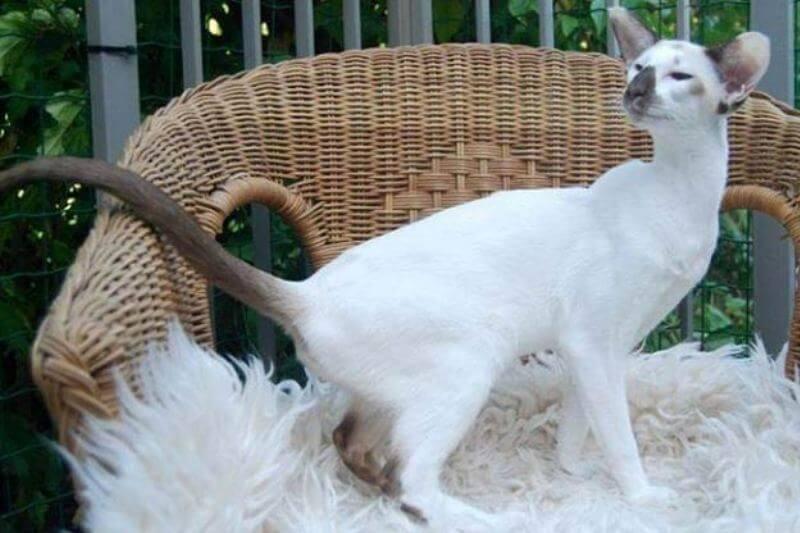 Сейшельская фото описание кошки