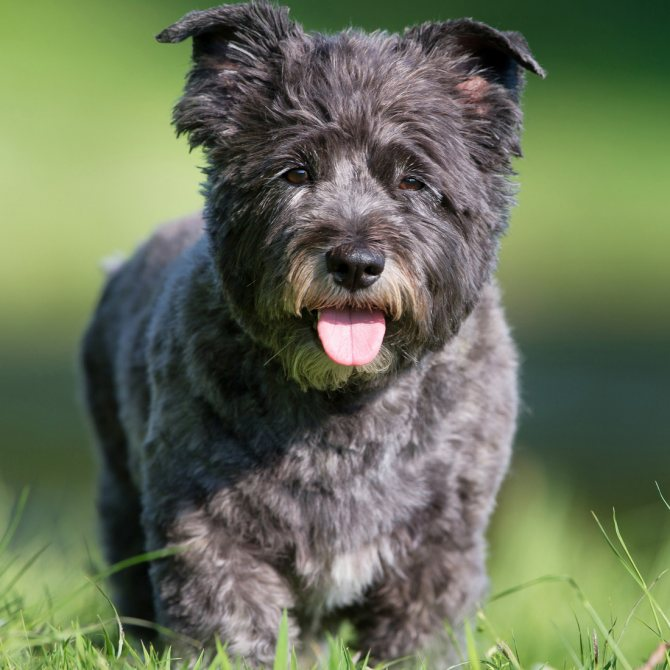 Характеристика собак породы керн терьер с отзывами и фото