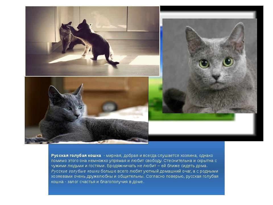 Подробное описание русской голубой кошки