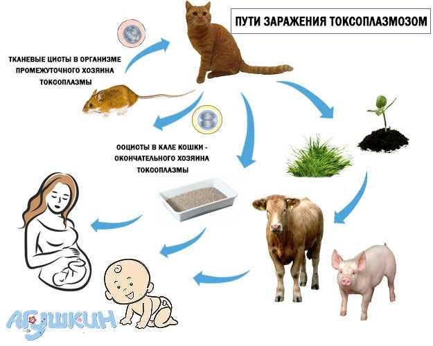 Токсоплазмоз. лечение токсоплазмоза