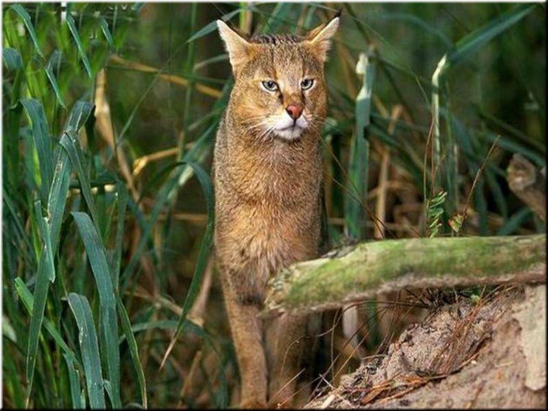 Камышовый кот — история происхождения породы, как выглядит на фото, где обитает и чем питается