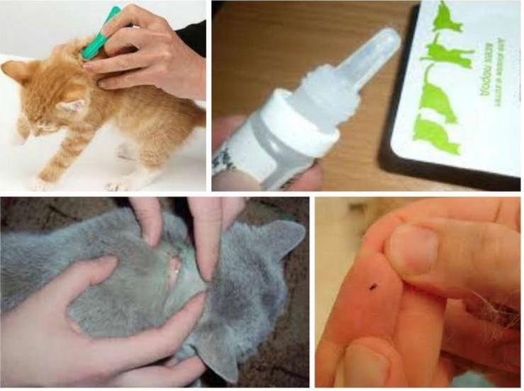 Как защитить котёнка от блох: профилактика и лечение