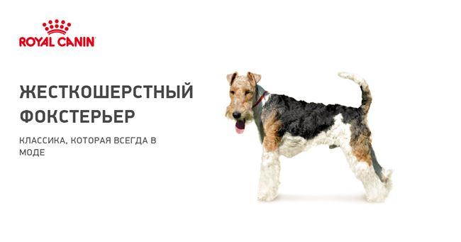 ᐉ описание породы жесткошёрстный фокстерье́р - ➡ motildazoo.ru