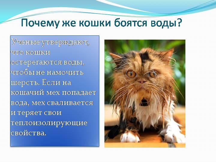 Почему кошки боятся воды? как приучить кота к воде? какие породы котов не боятся воды?