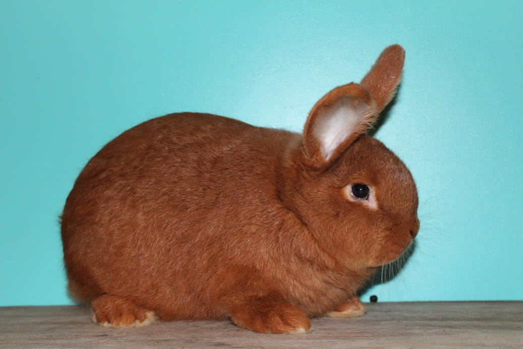 Новозеландские кролики белые и красные - характеристики породы, особенности разведения, фото   россельхоз.рф