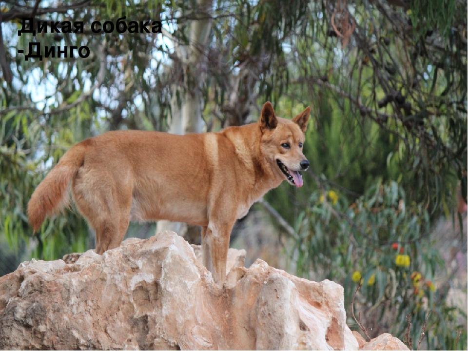 Дикая австралийская собака динго: где живет, особенности, дрессировка животного