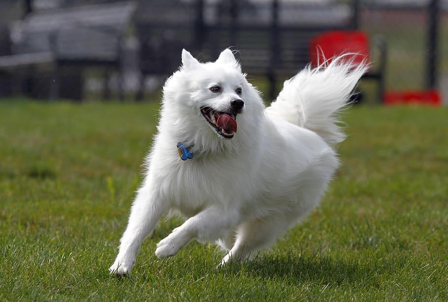 Американский шпиц (американская эскимосская собака): описаниие породы