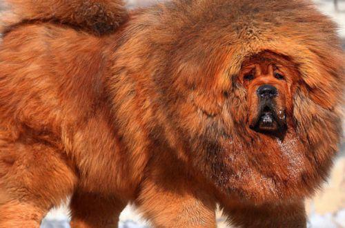 Топ 21 самых дорогих собак в мире 2021 года