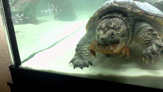Каймановая черепаха: фото,уход,описание,содержание,питание