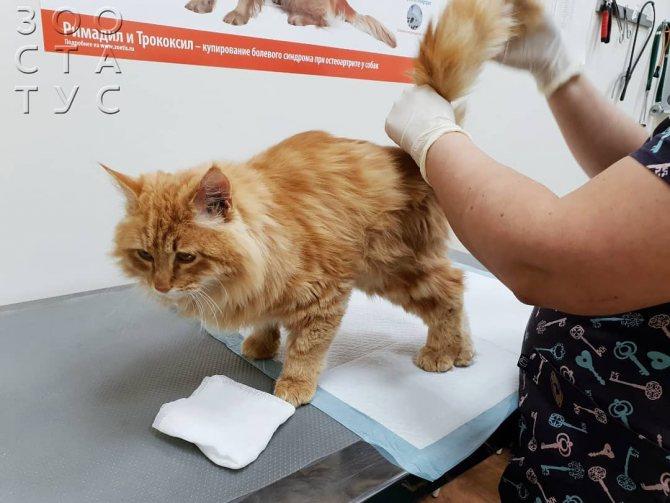 Половое созревание у котов и кошек: когда начинается, в каком возрасте наступает половозрелость