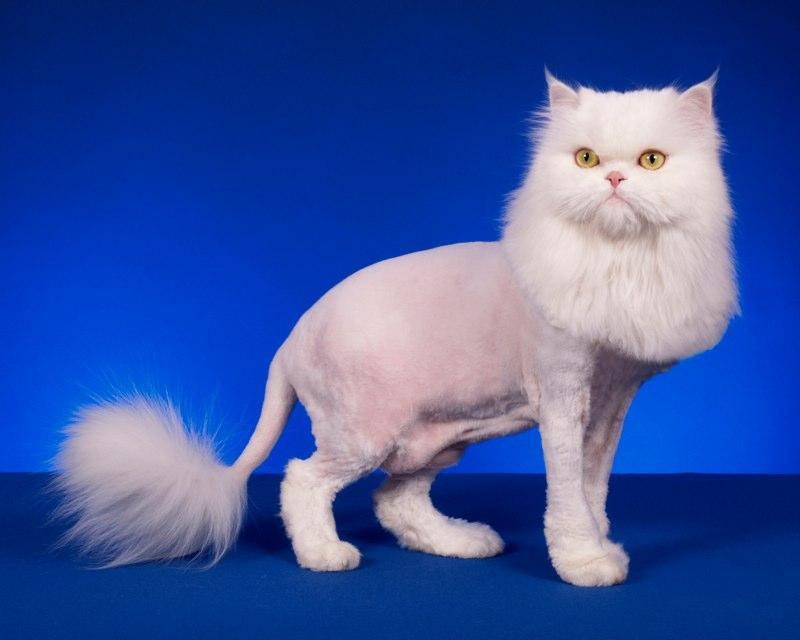 ᐉ машинка для стрижки кошек. как выбрать? - ➡ motildazoo.ru