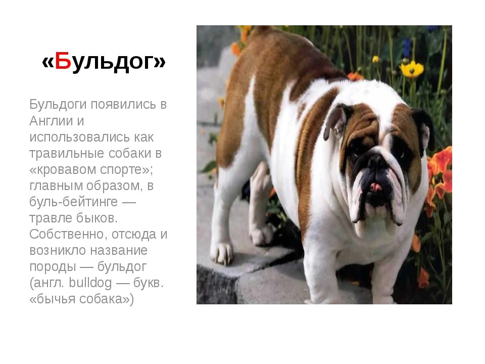 Английский бульдог: описание породы, характер королевской собаки