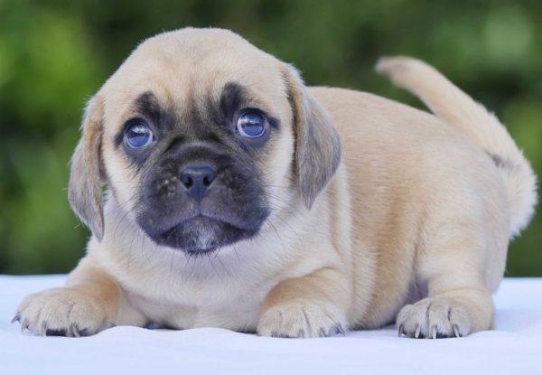 Пагль или пигль: фото и описание породы собак
