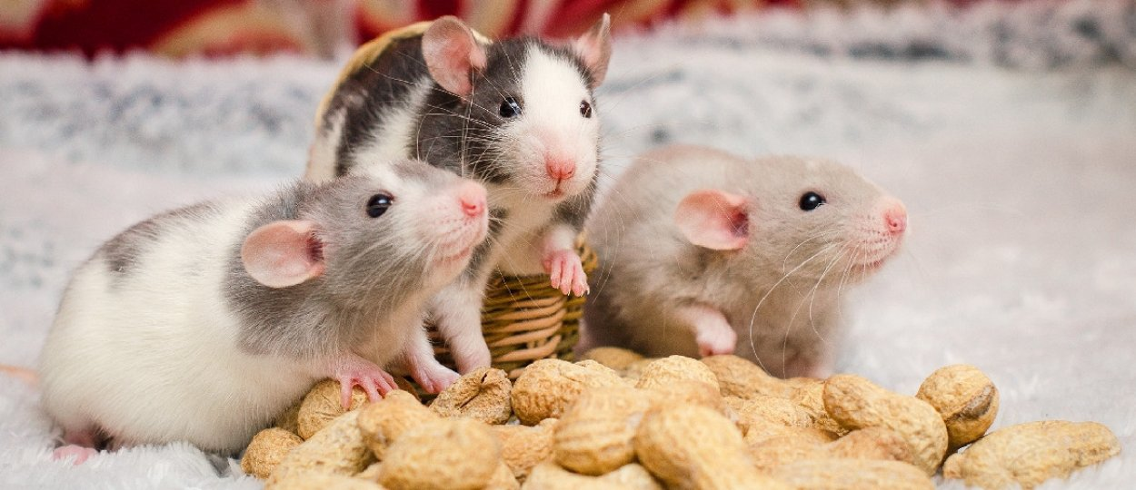 Декоротивные мыши – уход, содержание и разновидности домашних мышей