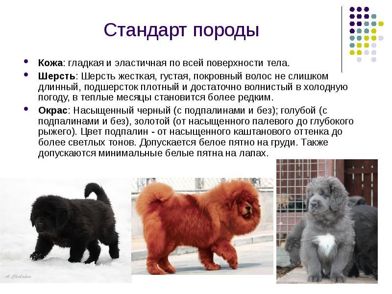 Тибетский мастиф: фото, описание и особенности, советы по уходу за крупной породой, цена щенков тибетского мастифа