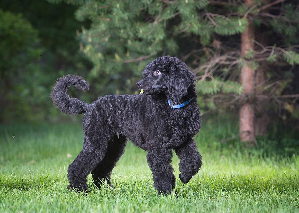 Маленькая пушистая собака: красивые кучерявые породы