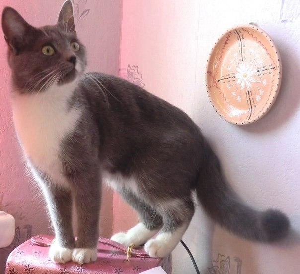 Порода кошек серый с белыми лапками порода
