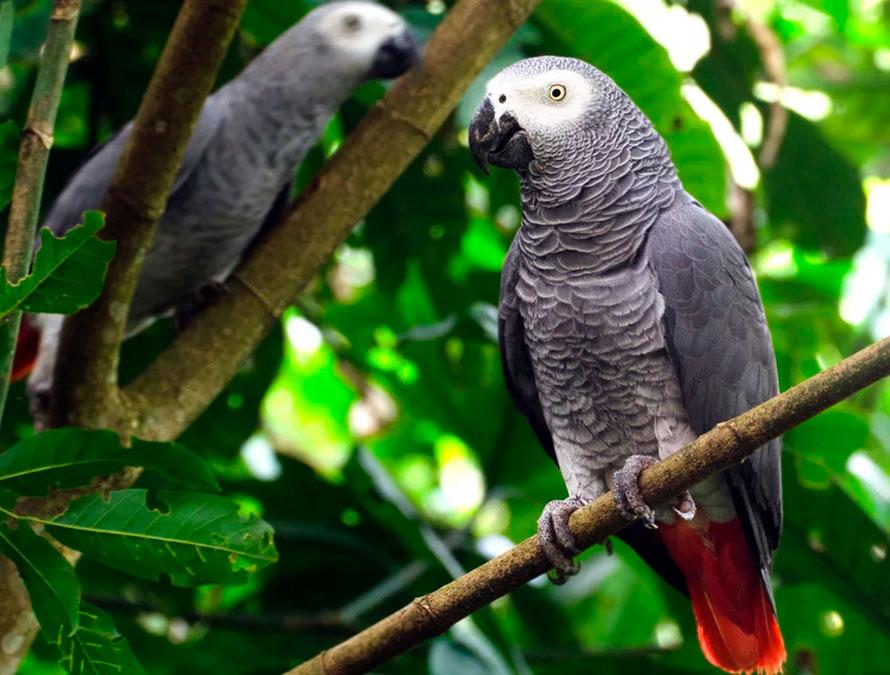 Попугай амазон. образ жизни и среда обитания попугая амазон | животный мир