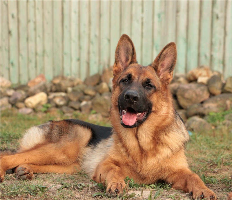 ≡ топ 13 ᐈ лучшие породы собак для охраны частного дома | woofy dog