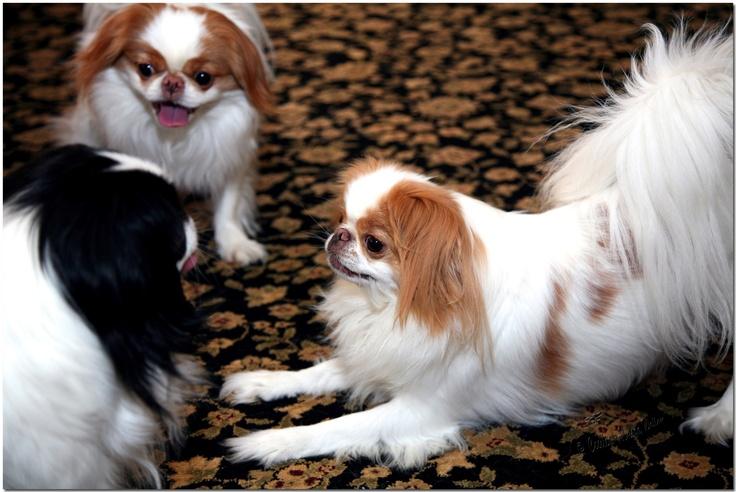 Японский хин ???? фото, описание, характер, факты, плюсы, минусы собаки ✔