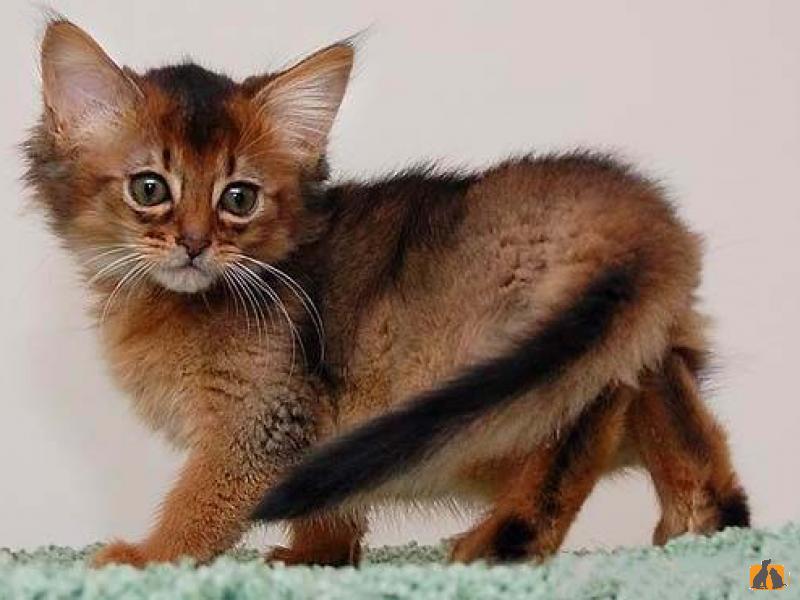 Сомалийская кошка: характеристика породы - про питомца