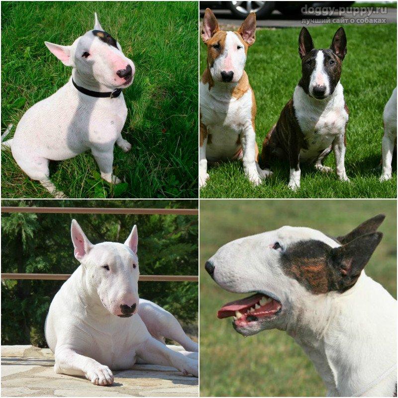 ᐉ бойцовские породы собак: фотографии, список, названия и характеристики крупных и малых псов бойцовых пород - zoovet24.ru