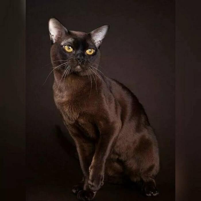 Бурманская кошка — интересные факты с подробным описанием короткошерстной породы кошек, 45 фото