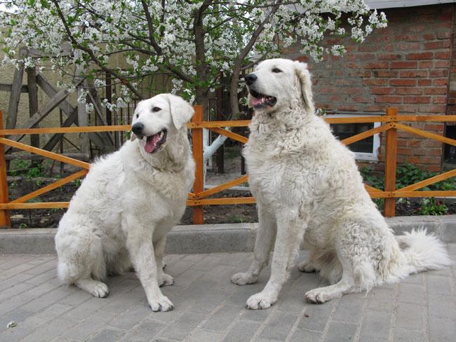Порода собак венгерский кувас: характеристика и особенности экстерьера