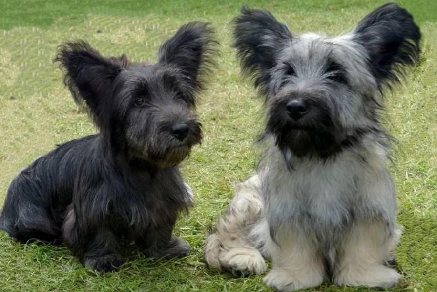 Скай-терьеры: описание породы с фото, характер собаки, особенности дрессировки