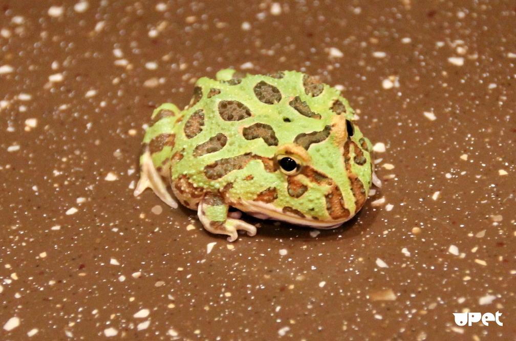 Домашняя лягушка: правила содержания и ухода, виды лягушек