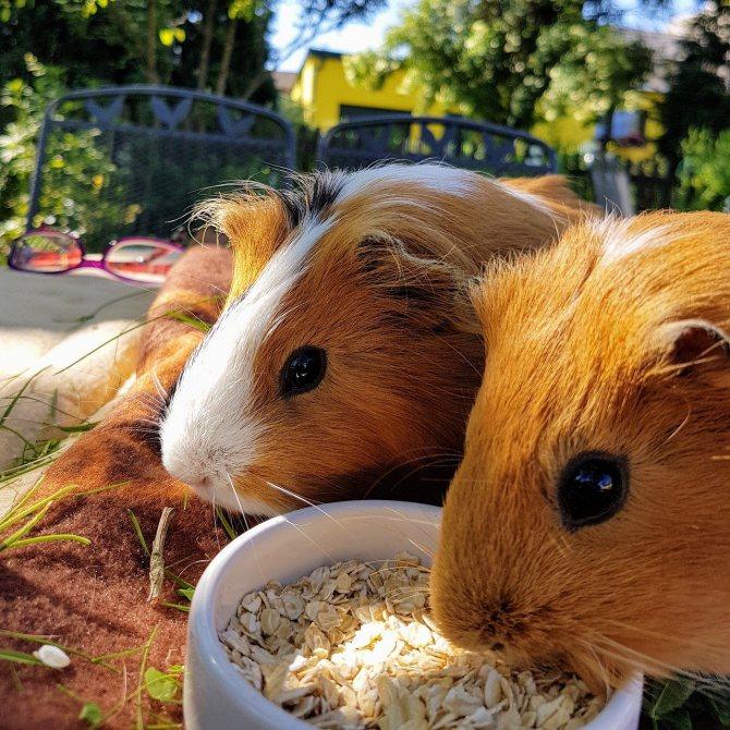 Можно ли давать морским свинкам свежую траву? ❤ советы эксперта