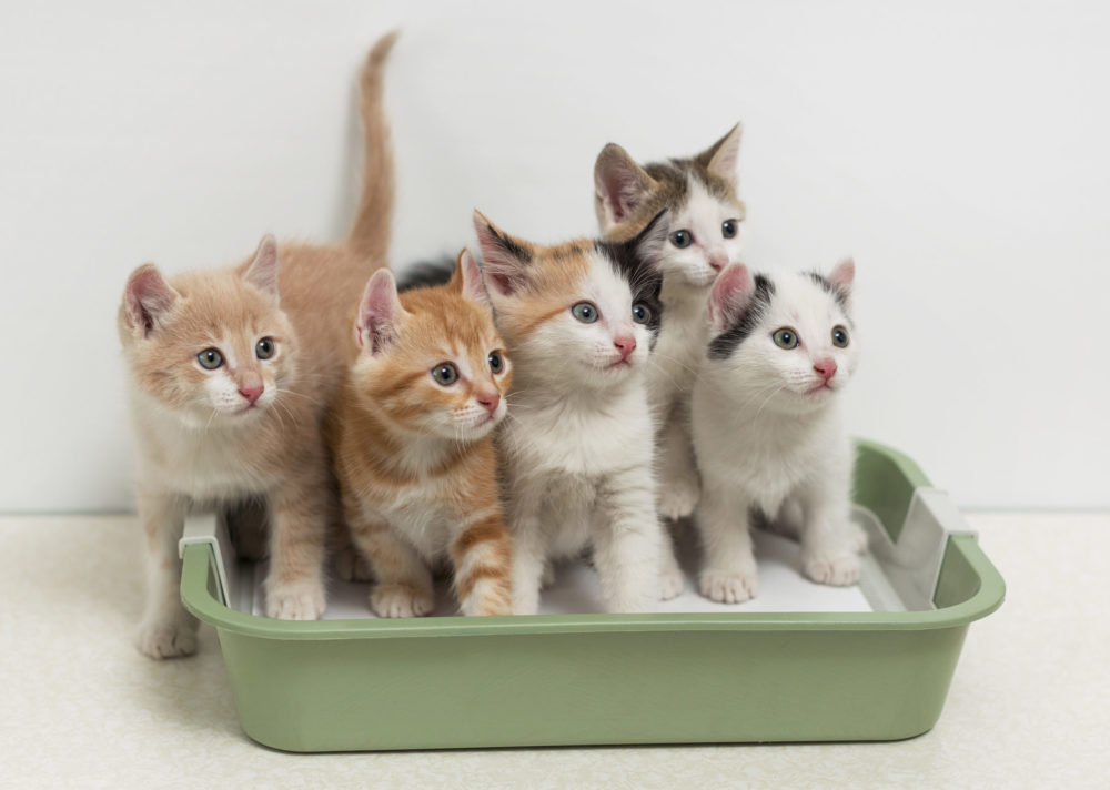 Как приучить уличного кота к лотку: способы обучения, рекомендации