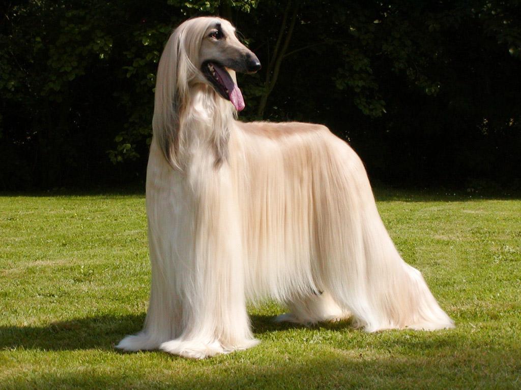Топ 38 самых больших собак в мире (с фото) | dogkind.ru