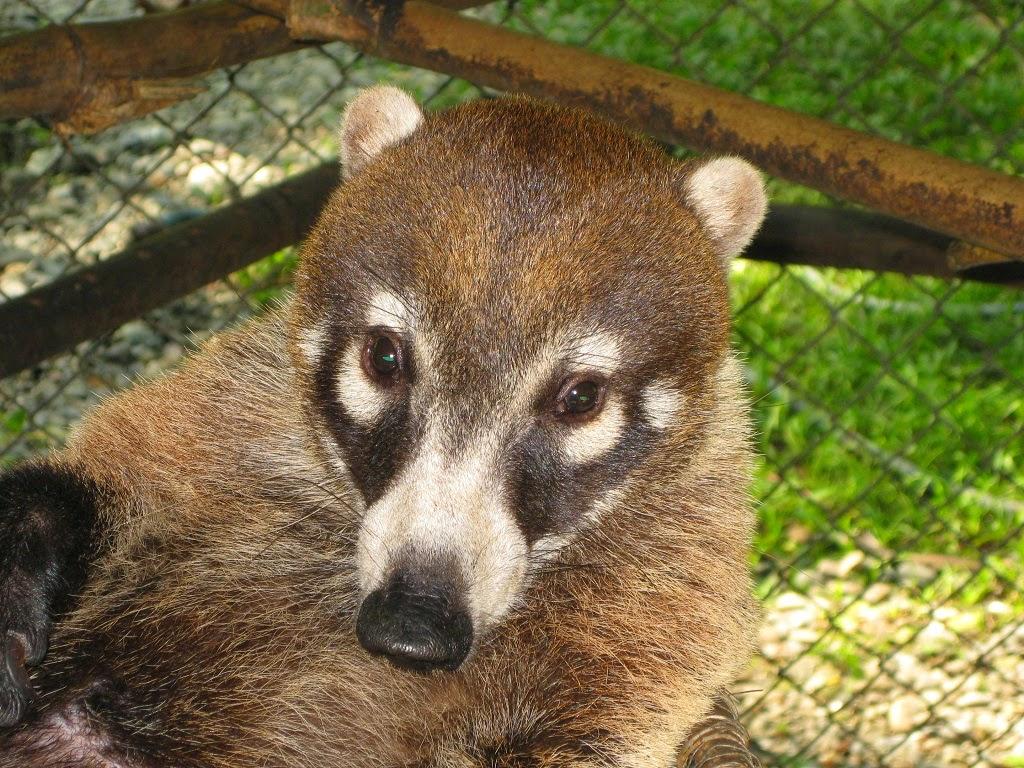 Носуха: стоит ли заводить животное в качестве домашнего любимца? обыкновенная носуха носуха обыкновенная