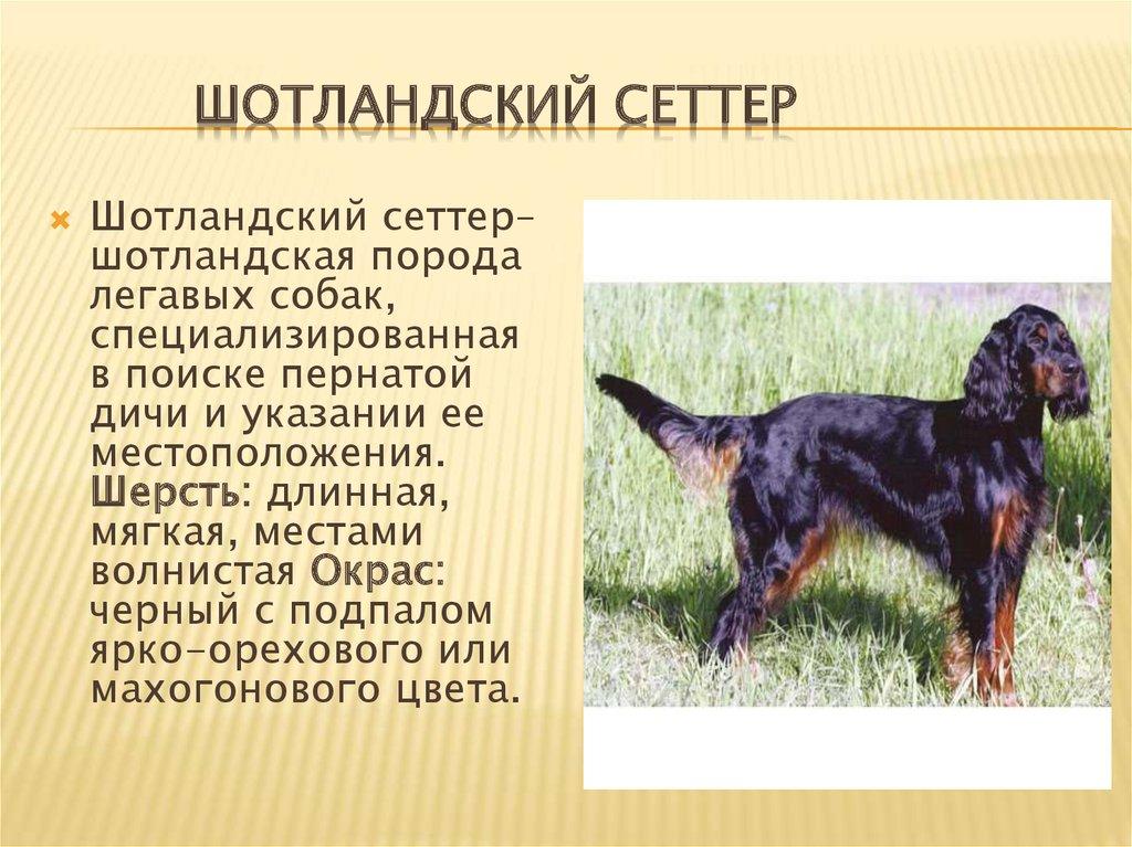 Ирландский сеттер собака. описание, особенности, уход и цена ирландского сеттера