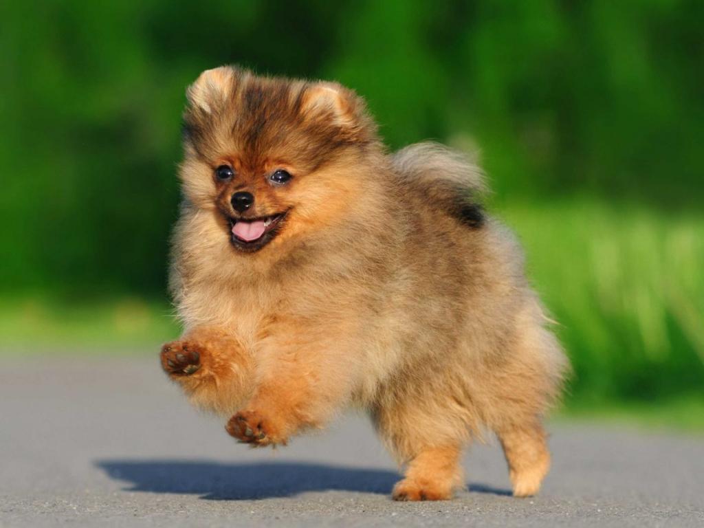 44 маленьких пород собак - идеальные компаньоны весом от 1,5 до 15 кг - часть 1