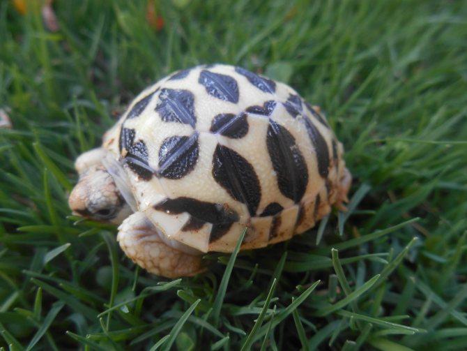 Угольная черепаха - вики