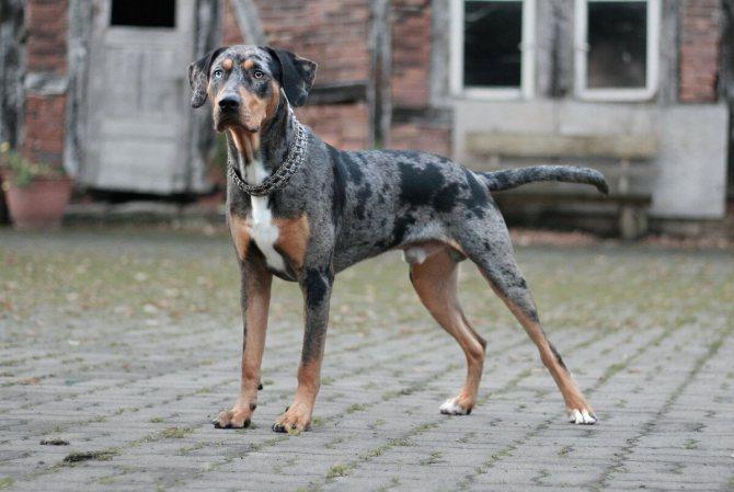 Ка-де-бо: описание характера и особенностей содержания породы собак дома, фото, уход, цена щенка, интересные факты и породе
