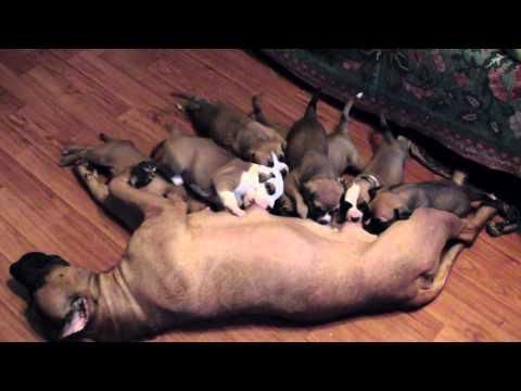 Как кормить щенка стаффордширского терьера 1 месяц