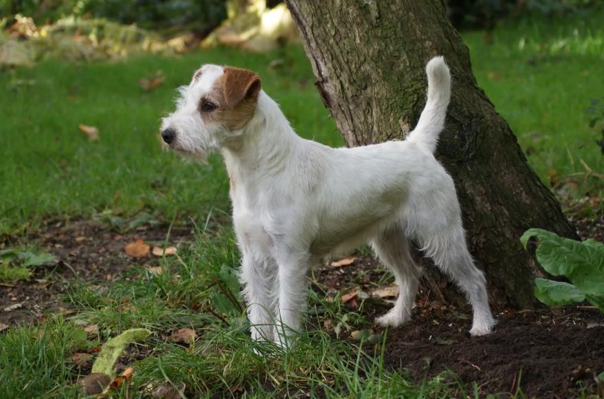 Джек-рассел-терьер описание и особенности породы | характеристика, характер, рост взрослой собаки